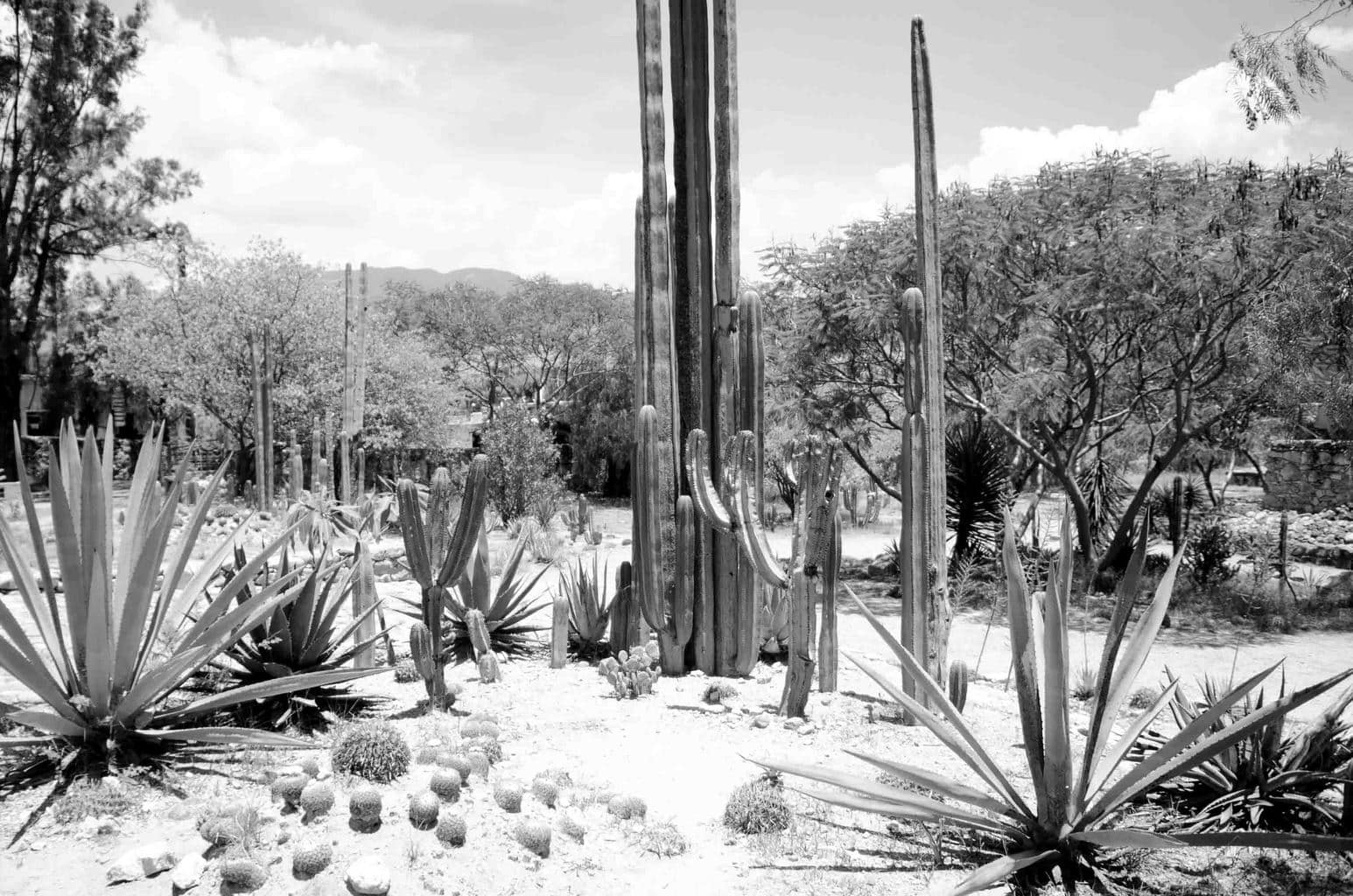 Cactus landscape in Oaxaca, Mexico