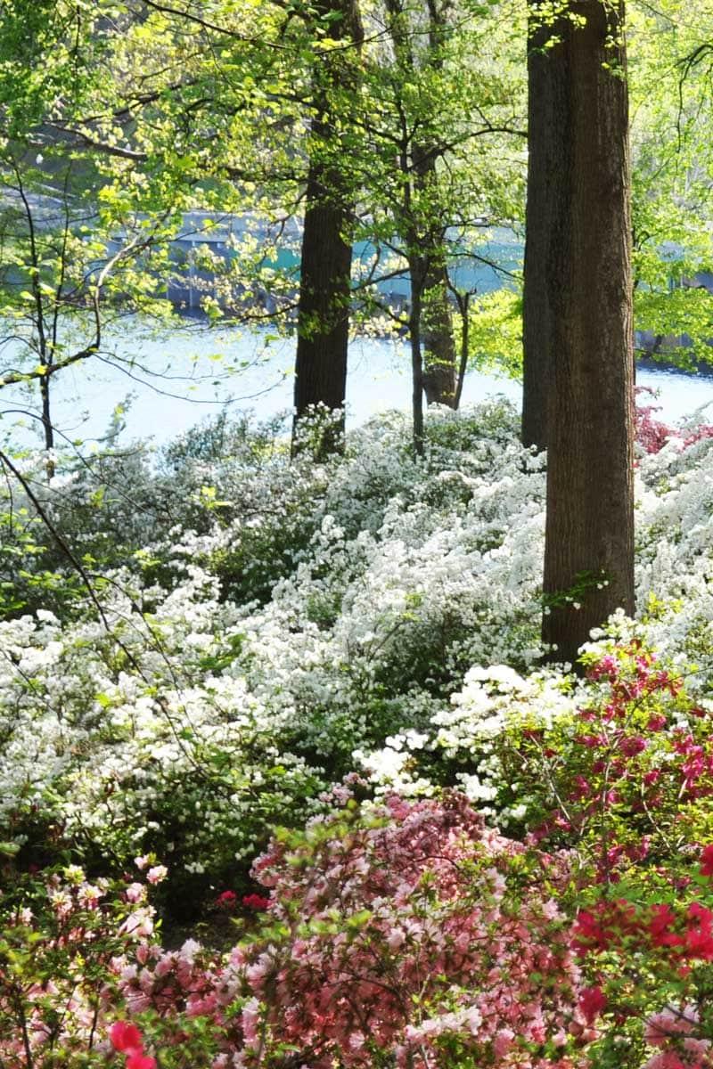 Pink and white azaleas surrounding trees via @thouswellblog