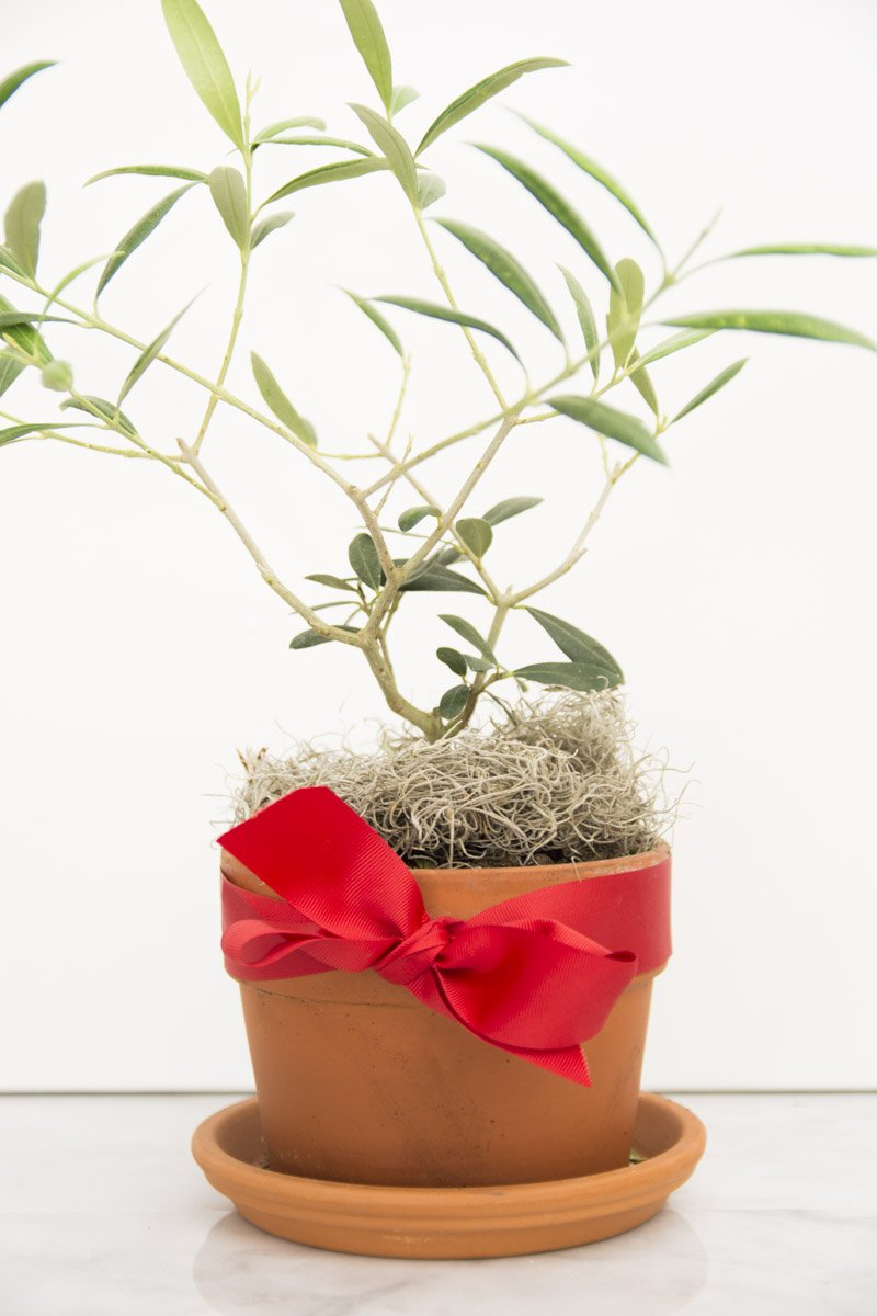 Olive tree with red bow on Thou Swell