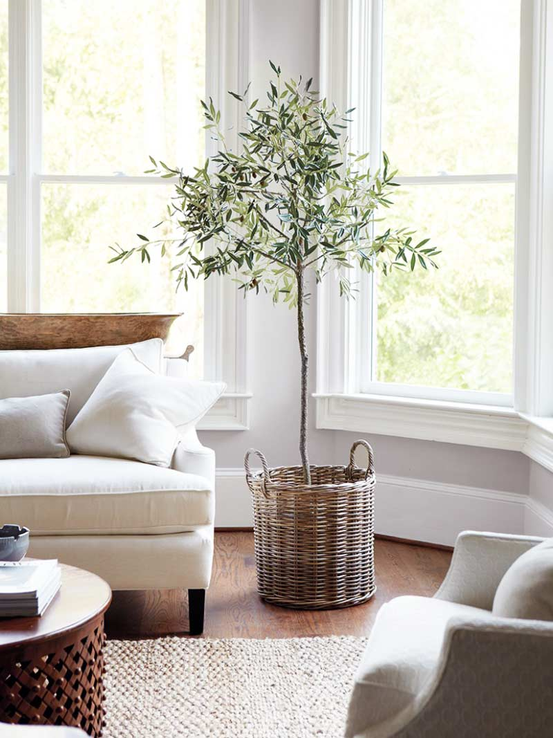 The plant of 2017 indoor olive tree thou swell for Indoor plants living room ideas