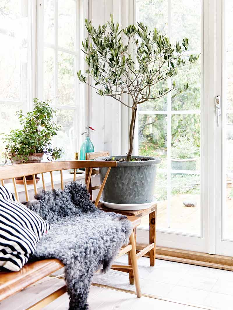 Indoor olive tree in Scandinavian sun room on Thou Swell @thouswellblog