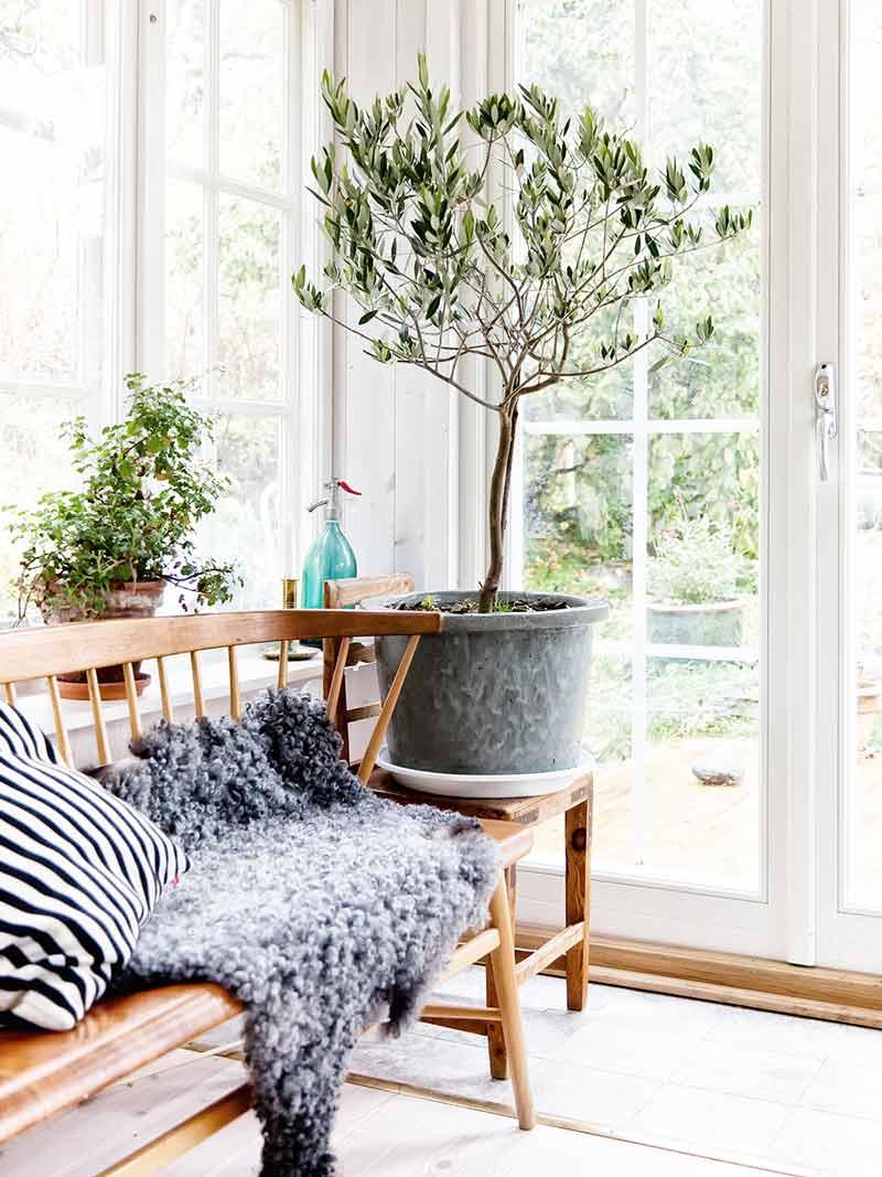 Indoor olive tree in Scandinavian sun room on Thou Swell @thouswellblog