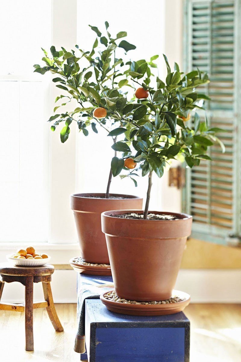 Interiors With Zest Indoor Citrus Trees Thou Swell