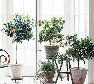 Potted indoor citrus trees in a white Scandinavian style room, plus how to care for indoor citrus trees on Thou Swell @thouswellblog