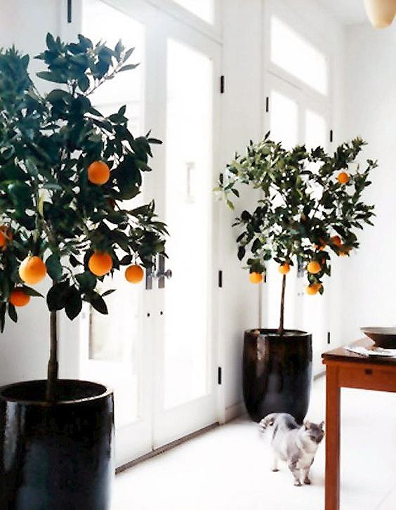 Huge potted citrus trees framing French doors on Thou Swell @thouswellblog